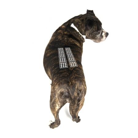Spondyloza u psa - zabieg